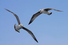 Seagulls in flight pointing at the observer Stock Photos