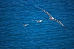 Seagulls in flight Royalty Free Stock Photo