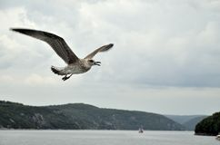 Seagulls in flight. Royalty Free Stock Photography