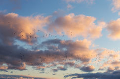 Seagulls in flight at sunset Royalty Free Stock Photos