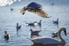 Seagulls in flight over a swan. Seagulls in flight at the surface of a lake in Italy, passing over a calm swan Stock Image