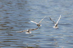 Seagulls in flight Royalty Free Stock Images