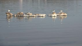 Seagulls float on a melting ice floe, April day. Seagulls float on a melting ice floe on April day stock video