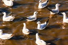 Seagulls float on sea. Royalty Free Stock Images