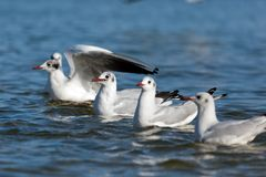 Seagulls floating on the sea in a line. Royalty Free Stock Images