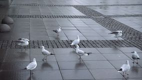 Seagulls flocking and fighting for food. On city square paved by stones. Hungry birds eating bread. Gulls landing on ground. Feeding of seabirds in cloudy day stock video