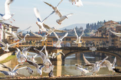 Seagulls in Florence. Seagulls eating in front of the Ponte Vecchio in Florence Royalty Free Stock Photo