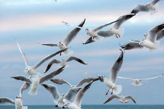 Seagulls fly in air. Stock Image
