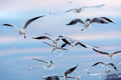 Seagulls fly in air. Stock Photography