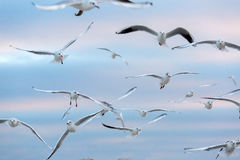 Seagulls fly in air. Stock Photos
