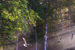 Seagulls fly in beautiful summer forest in sunlight Royalty Free Stock Image