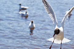 Seagulls. In fly close up in water Stock Image