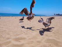 Seagulls fly and fight on Ventura beach royalty free stock photo