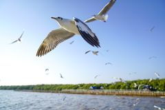 Seagulls that fly like airplanes Stock Photo