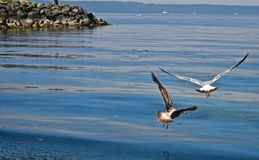 Seagulls. Fly low over the shores of Puget Sound in Washington State. Reflections of the birds bring a sense of calmness and peace Stock Photography