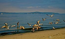 Seagulls. Fly low over the shores of Puget Sound in Washington State. Reflections of the birds bring a sense of calmness and peace Stock Images