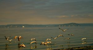 Seagulls. Fly low over the shores of Puget Sound in Washington State. Reflections of the birds bring a sense of calmness and peace Royalty Free Stock Photos