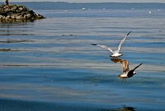 Seagulls. Fly low over the waters of Puget Sound in Washington State. Reflections of the birds bring a sense of calmness and peace Royalty Free Stock Photography
