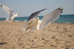 Seagulls fly over the beach. Looking for the some food. Blue sky. Seagulls fly over the Sea. Blue sky stock images