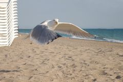 Seagulls fly over the beach. Looking for the some food. Blue sky. Seagulls fly over the Sea. Blue sky stock photography