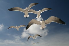 Seagulls. Fly over the sea, in Miami Beach, Florida Royalty Free Stock Photography