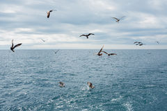 Seagulls fly over the sea Stock Images