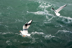 Seagulls fly over sea Royalty Free Stock Photo