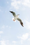 Seagulls fly over sea Royalty Free Stock Image