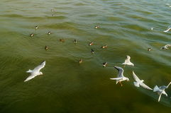 Seagulls fly on the sea Royalty Free Stock Images