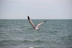 Seagulls fly at seashore Royalty Free Stock Photos