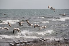 Seagulls fly at seashore Royalty Free Stock Image