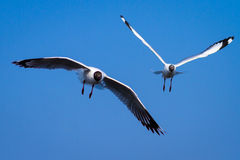 Seagulls on the sky Royalty Free Stock Photography
