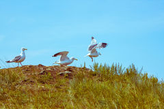 Seagulls fly up Royalty Free Stock Photos
