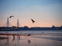 Seagulls flyger över en fjärd på solnedgången royaltyfria bilder