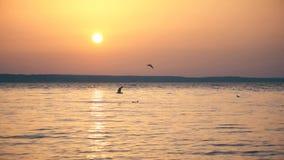 Seagulls flyger över sjön på skymning i ultrarapid arkivfilmer