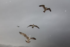 Seagulls flying. In a gray sky Royalty Free Stock Image