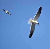 Seagulls Flying. In front of a beautiful blue sky. Taken in Galveston, TX Stock Images