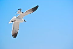 Seagulls Flying. Two seagulls flying around. The photo was taken on a Florida beach Stock Photo