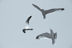 Seagulls flying Stock Photo