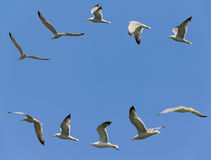 Free Seagulls Flying Stock Photography - 26935912
