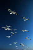 Seagulls flying above. Flock of seagulls flying over the ocean in California stock images