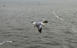 Seagulls flying above the river Royalty Free Stock Photo