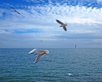 Seagulls flying above the sea Royalty Free Stock Images