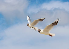 Seagulls. Flying seagulls against a blue sky background Royalty Free Stock Photos
