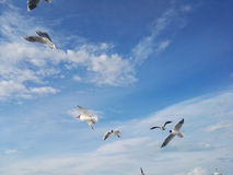 Seagulls flying against a blue sky. Bird life abstract Royalty Free Stock Images