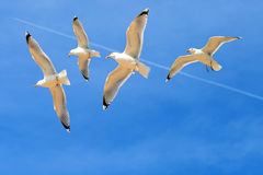 Seagulls flying against a blue sky. Four seagulls flying against a blue sky Stock Photography