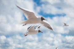 Seagulls flying against a blue sky. Seagulls flying high with wide spread wings towards light against a blue sky, inspirational concept of freedom and aspiration Royalty Free Stock Images