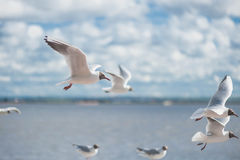 Seagulls flying against a blue sky. Seagulls flying high with wide spread wings towards light against a blue sky, inspirational concept of freedom and aspiration Royalty Free Stock Photography