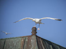 Seagulls flying against a blue sky - one is landing. Royalty Free Stock Photo