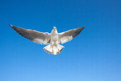 Seagulls flying Royalty Free Stock Photography